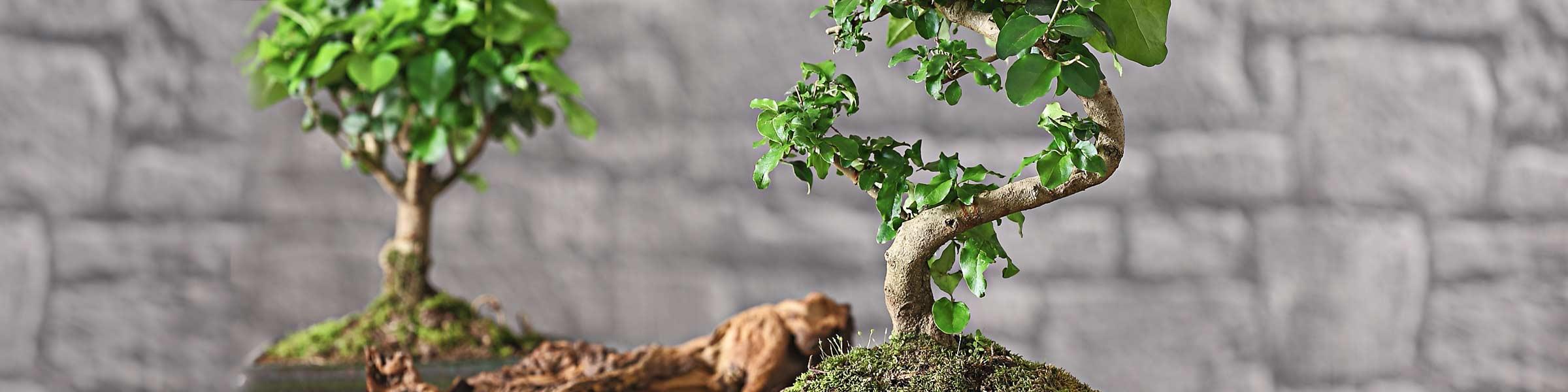 Bonsai pflanzen f r ihre wohnung dehner for Bonsai pflanzen