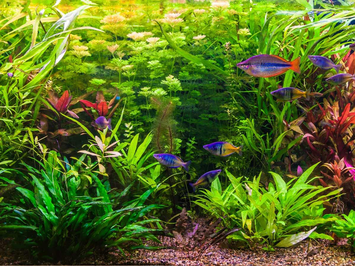 aquarium erde f r pflanzen schwarze algen auf aquariumpflanzen aquarium aquaristik substrat. Black Bedroom Furniture Sets. Home Design Ideas