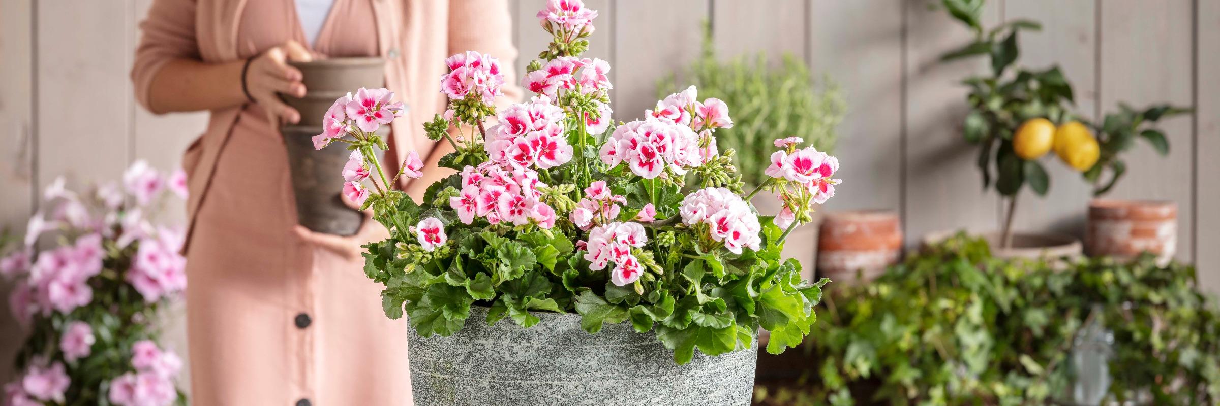Top 8 Pflanzen für den Südbalkon   Dehner