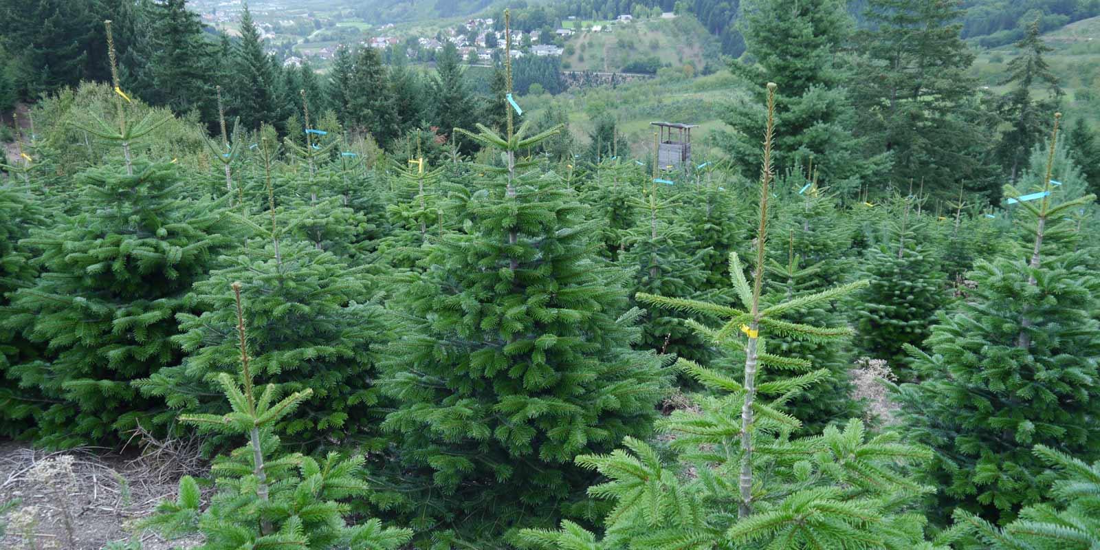 Weihnachtsbaum Samen.Ihr Perfekter Weihnachtsbaum Dehner