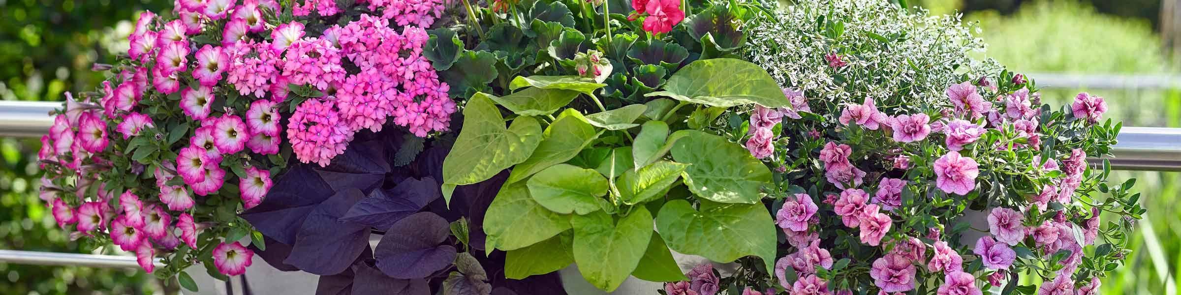 Balkonpflanzen In Grosser Auswahl Dehner