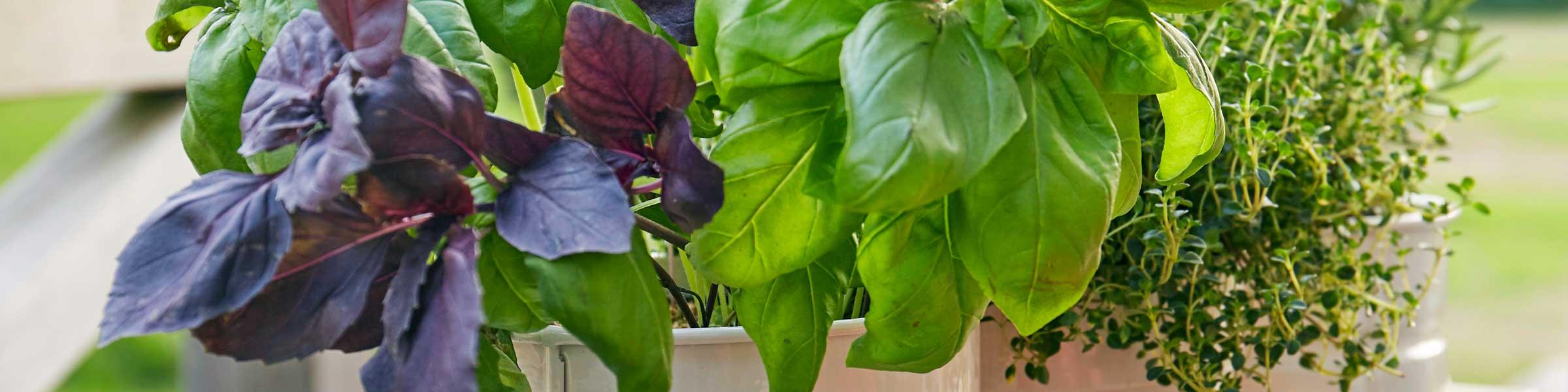 Kräuter Und Kräuterpflanzen Dehner