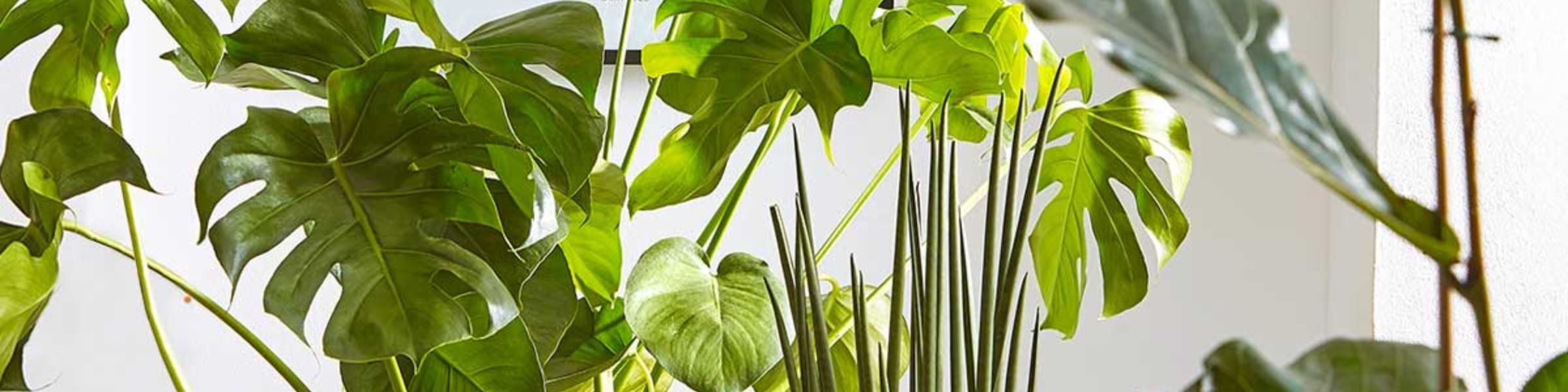 grosse zimmerpflanzen