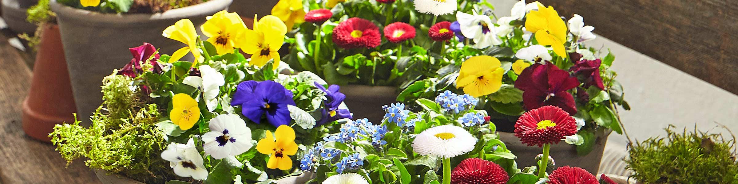 farbenfrohe frühlingsblumen in großer auswahl | dehner
