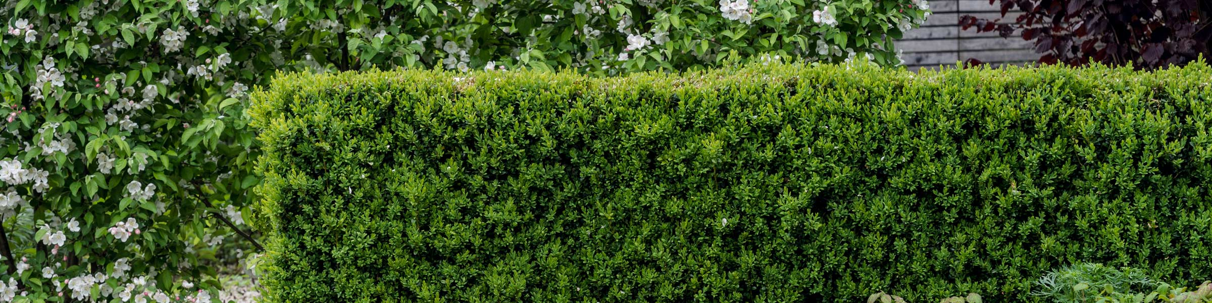 Heckenpflanzen Pflegeleichter Sichtschutz Dehner