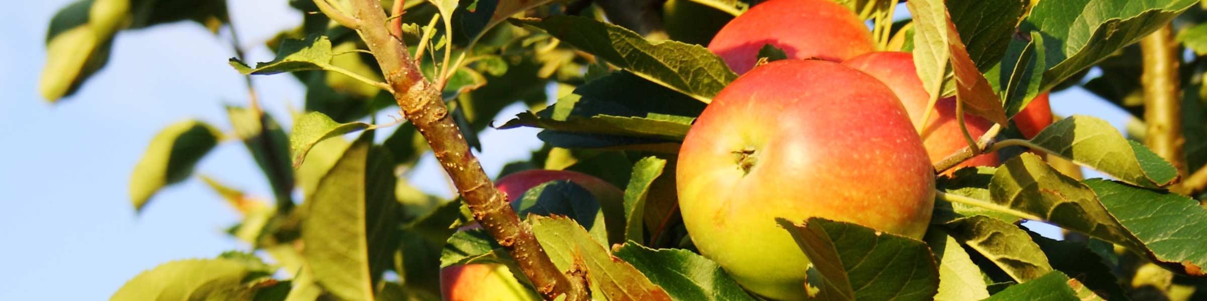 Obstbäume Für Ihren Garten Dehner