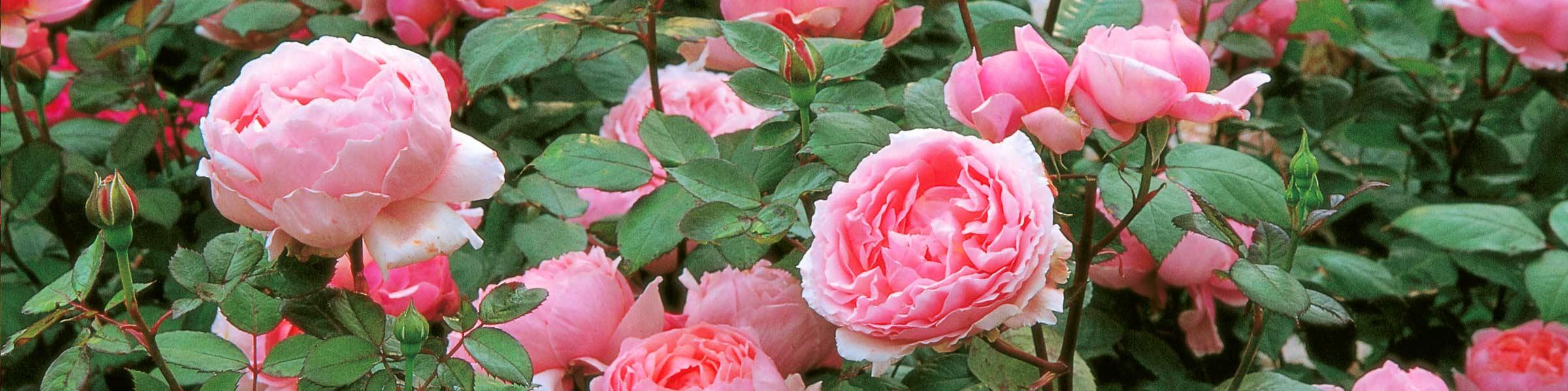 romantische rosen online kaufen | dehner