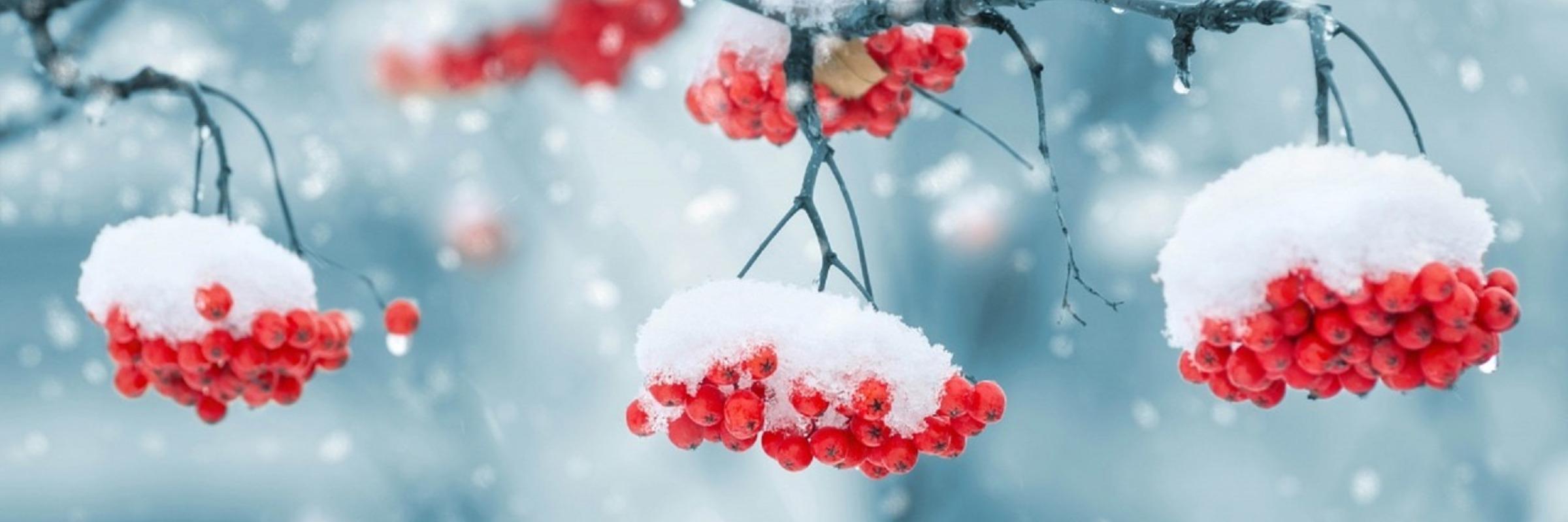 Winter (iarna)  Snow-on-berries-1379880_1280-10635-1