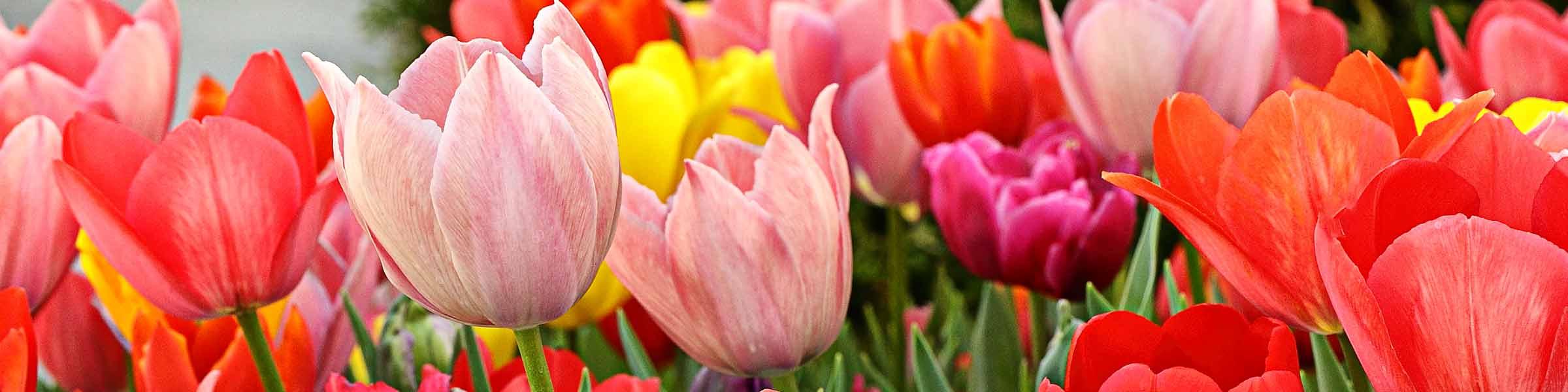 Резултат слика за pregnant for tulips free