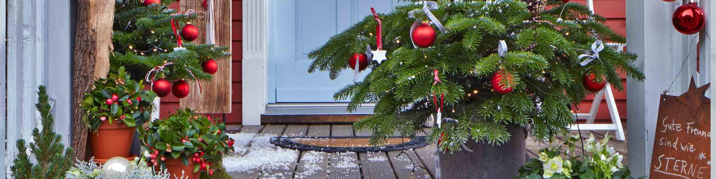 der trend ein weihnachtsbaum im topf von dehner dehner. Black Bedroom Furniture Sets. Home Design Ideas
