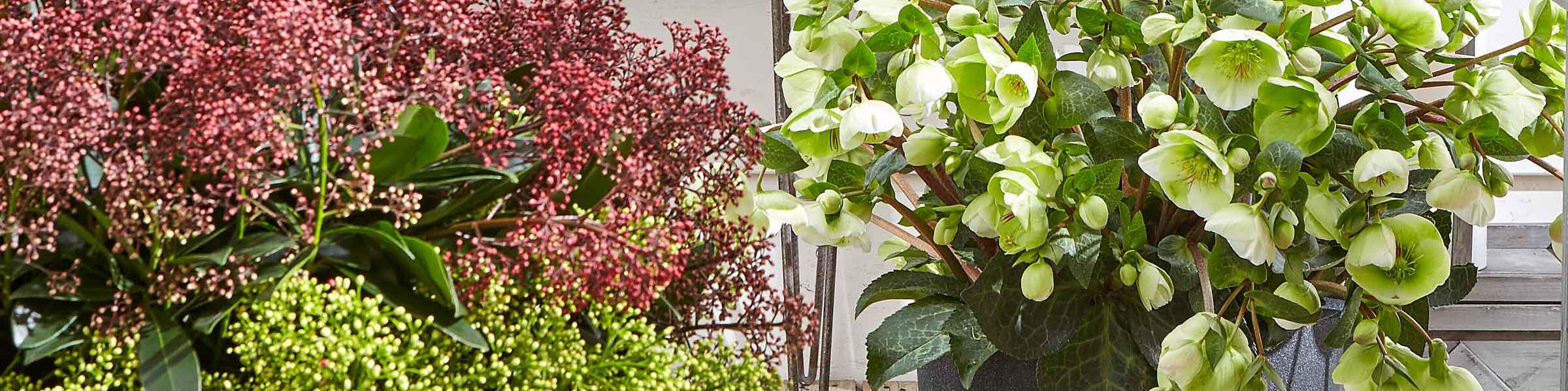 winterharte k belpflanzen bestellen dehner. Black Bedroom Furniture Sets. Home Design Ideas